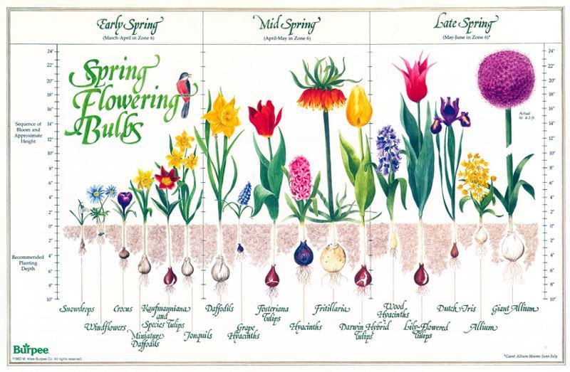 Thinking ahead to spring 5 bulbs to plant now alices table photo courtesy of burpee photo courtesy of plant mightylinksfo